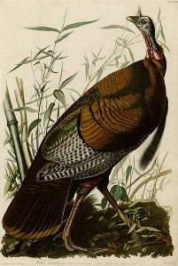 Pavo salvaje | John James Audubon | 1826
